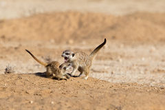 Two young Meerkats play fighting. Against a blurred natural background,  Kalahari Desert, South Africa Stock Photography