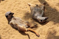 Two young meerkats in the sand Stock Photos