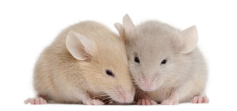 Two young mice. In front of white background Stock Photos