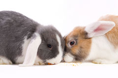 Two young mini-lop rabbits eating Stock Photo