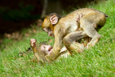 Two young monkey stock image