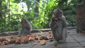 Two young monkeys eating sweet potatoes in the Monkey Forest, Ubud - Bali