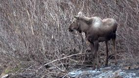 Two Young Moose in Alaska. During spring along a stream. A male and female stock footage