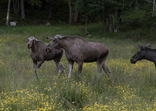 Two young moose or elk, Alces alces, flatten ears. Two young moose or elk, Alces alces, arguing and flattening ears in green surroundings in forest Stock Images