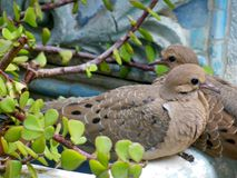 Two Young Mourning Doves Royalty Free Stock Images
