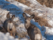 Two young mule deer Royalty Free Stock Images