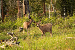 Two Young Mule Deer. Royalty Free Stock Image