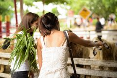 Two young multi-ethnic woman friends feeding the sheep while hav royalty free stock image