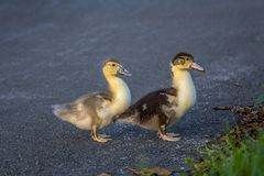 Two young muscovy duck chicks crossing the asphalt street royalty free stock images