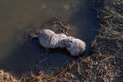 Two young muskrats Ondatra zibethicus Stock Photos