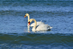 Two young mute Swan Royalty Free Stock Images