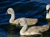 Two young mute swans are swimming Stock Photo