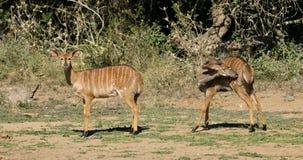Nyala antelopes in natural habitat stock video