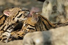 Two young ocelots grooming Stock Photo