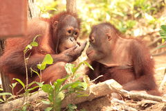 Two young Orang-Utan. One showing the other something stock photo