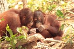 Two young Orang-Utan. Studying something interesting Stock Image