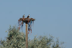 Two Young Osprey Resting on its Nest Stock Photos