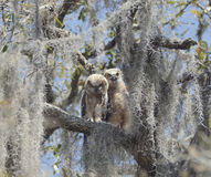 Two Young Owlets Stock Image
