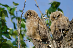 Two Young Owlets Resting In Their Nest Royalty Free Stock Image