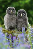 Two young owls Strix nebulosa Royalty Free Stock Photos