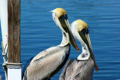 Two young pelicans. Two young brown pelicans in profile looking out into the water in florida royalty free stock photo