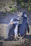 Two young penguin. Standing close to each other Stock Photography
