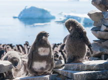 Two young penguins talking. This shot was made during expedition to Antarctica in January 2012. This is summer time for Antarctica, penguins colony is full of Royalty Free Stock Images