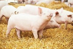 Free Two Young Piglet At Pig Breeding Farm Stock Image - 171102761
