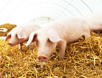 Two young piglet at pig breeding farm Royalty Free Stock Photography