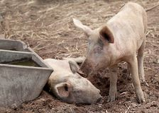 Two young piglet pigs on farm Royalty Free Stock Image