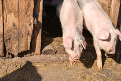 Two young piglet in traditional farm come together out of the ba Royalty Free Stock Photos