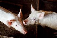 Two young pigs in a barn on the home farm, mud Royalty Free Stock Photo