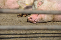 Two young pigs lay in a metal cage at farm royalty free stock images