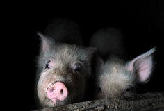 Two Young Pigs in the Pen Royalty Free Stock Photo