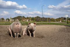 Two young pigs side by side, one seen from the rear and the other sitting, on the sand ground. royalty free stock photos