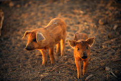 Two young pigs are walking. Around the farm yard on a summer day royalty free stock images
