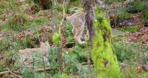 Two young and playfull lynx cat cubs running in the forest. Two european lynx cat or bobcat cubs walking and playing in the forest in the early winter or late stock footage