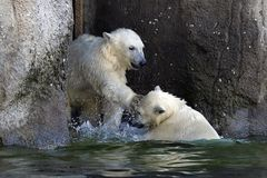 Two young polar bears playing. royalty free stock photos