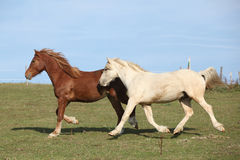 Two young ponnies running on pasturage together Royalty Free Stock Photos