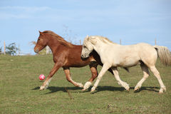 Two young ponnies running on pasturage together Stock Photo