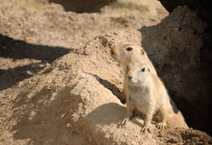 Two young prairie dogs Royalty Free Stock Photos