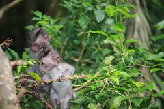 Two young primates climb up the tree. Branches in the Ubud Forest in Indonesia Royalty Free Stock Photography