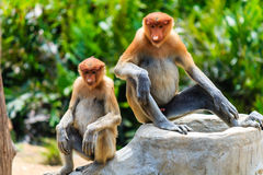 Two young Proboscis Monkeys in Borneo.  Palm oil plantation and Royalty Free Stock Photography