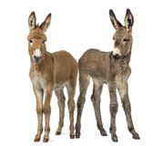 Two young Provence donkey foal isolated on white Stock Image