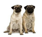Two young pugs, sitting and looking up Stock Image