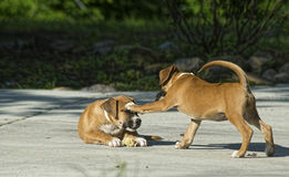 Two young puppies play together. Stock Photo