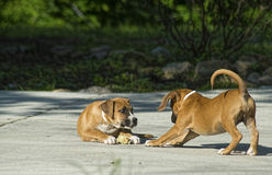 Two young puppies play together. Stock Photos