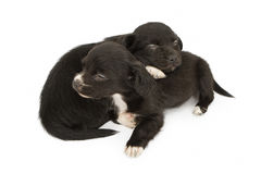 Two Young Puppies Snuggling Napping. Two adorable little black color mixed breed puppied cuddled together sleeping. Isolated on white Royalty Free Stock Photography