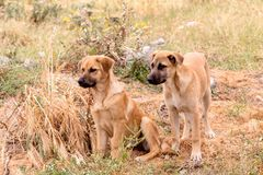 Two young puppy-brothers close-up. Two young, beige puppy-brothers sit and watch close-up on a summer day royalty free stock images