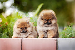 Two young puppy Spitz Stock Photography